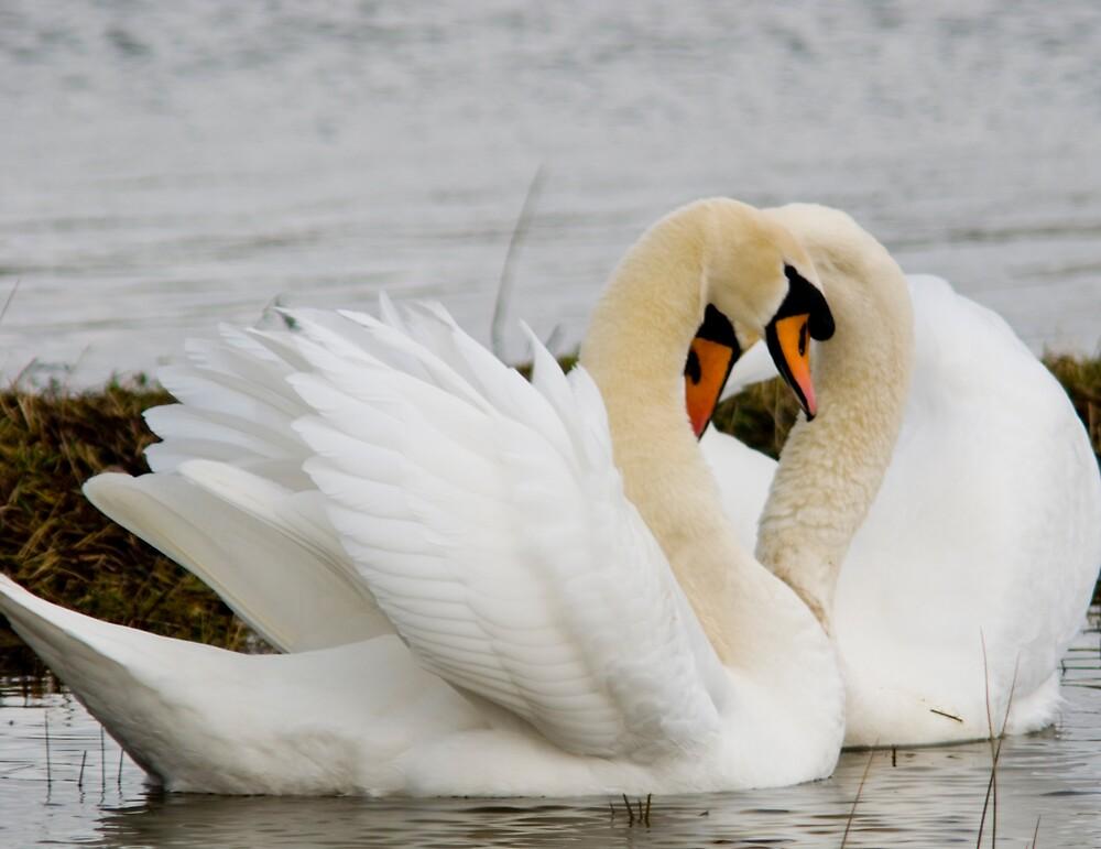 Swan love by Alistair Balharrie
