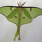 Luna Moth by Alice Kahn