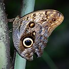 Owl Butterfly by Anne Smyth