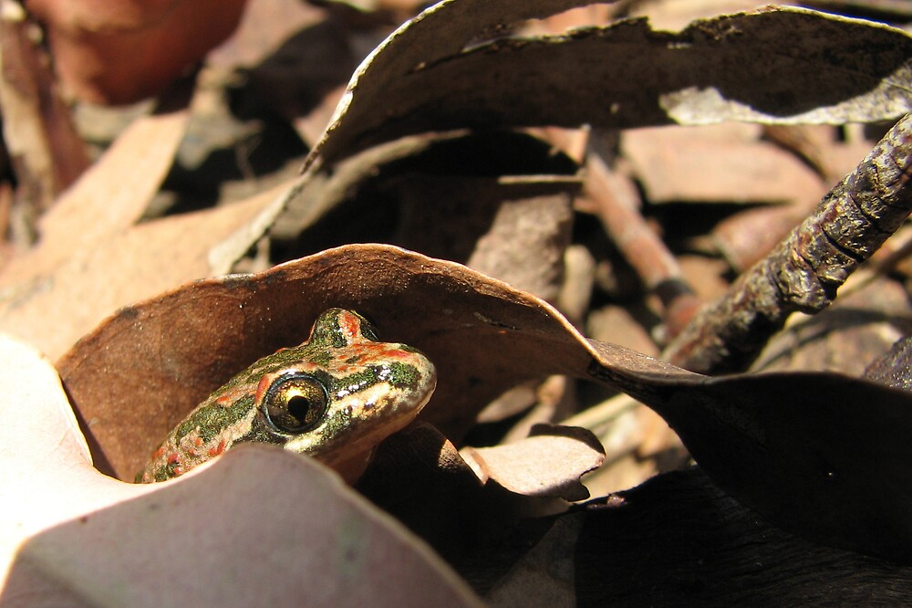 Hiding Barking Frog by Dave Fleming