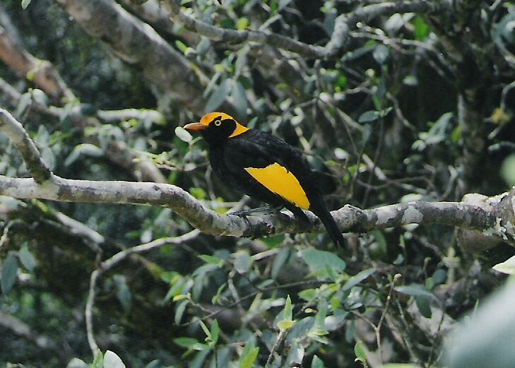 Regent Bowerbird by Dave Fleming