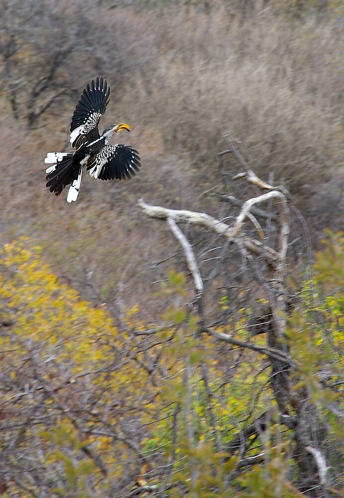 Flight of the hornbill by Deidre Cripwell