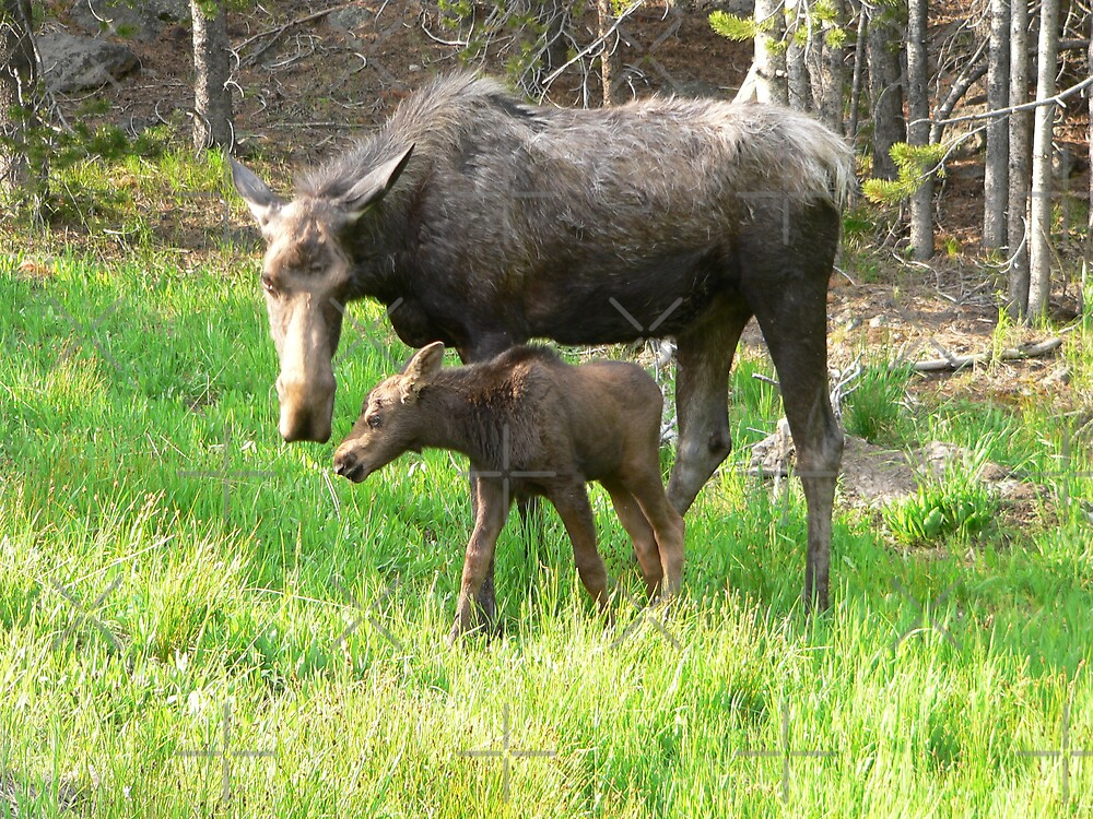 moose and baby moose by kevint