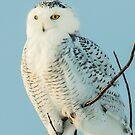 juvenile male snowy owl-2 by AlRobinson