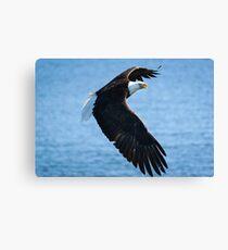 North American Bald Eagle in flight Canvas Print