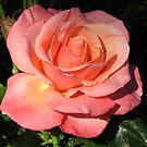 Sunkissed Orange Rose im Halbprofil von BlueMoonRose