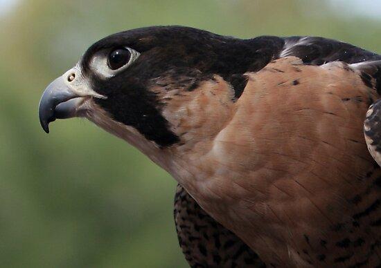 Falcon Eye by Judson Joyce