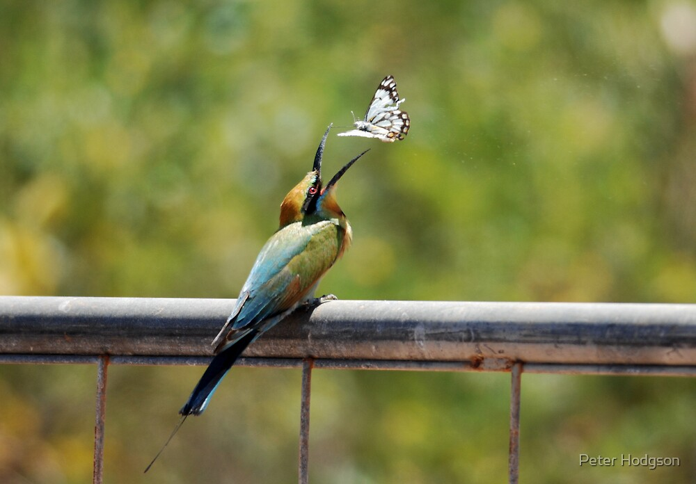 Bee Eater & Butterfly by Peter Hodgson