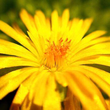 Yellow Colorado Wildflower  by BetteB