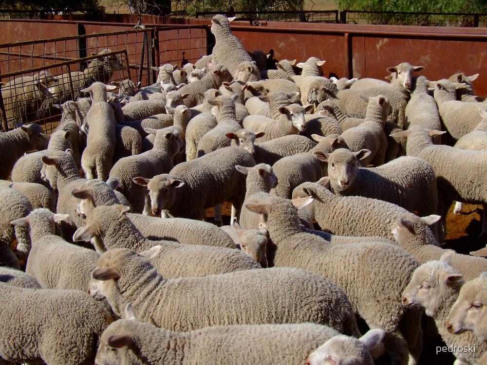 Healthy Baa Lambs by pedroski