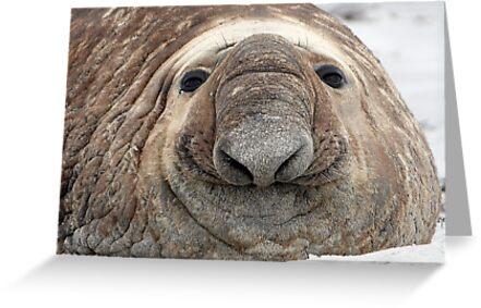 The Beach Master  ~  Southern Bull Elephant Seal by Robert Elliott
