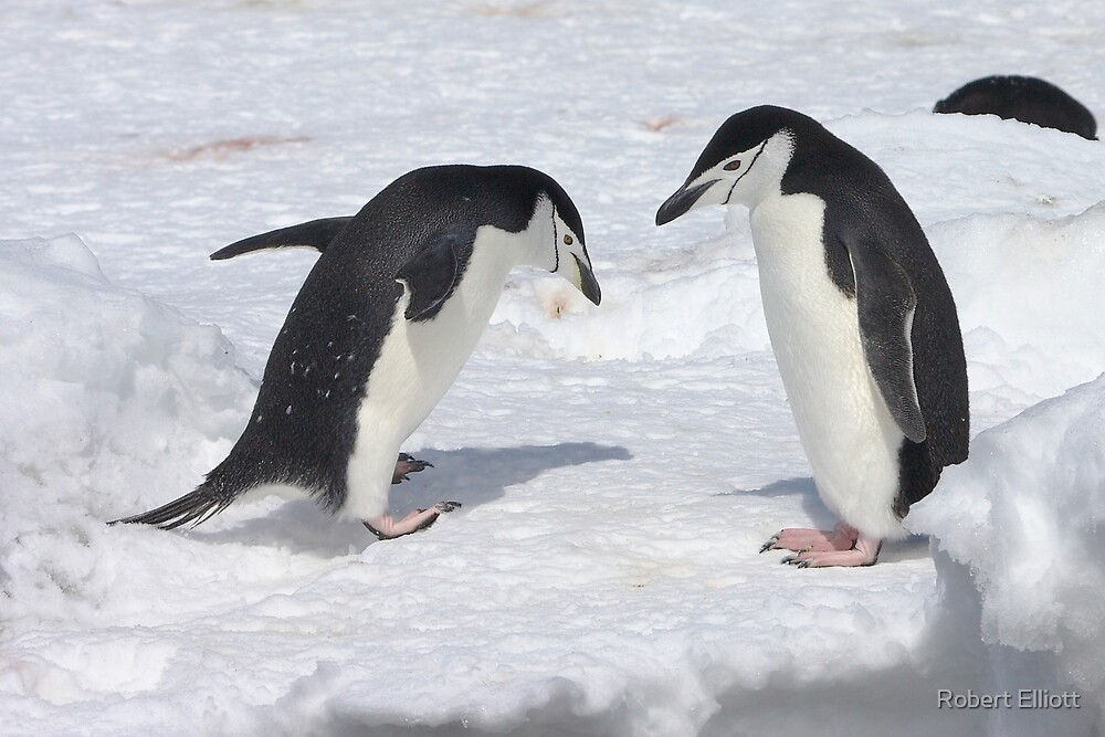 "Chinstrap Penguins ~ ""Konnichiwa (hello)"" by Robert Elliott"