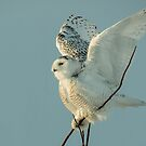 juvenile male snowy owl by AlRobinson