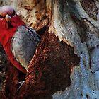 Peek-a-boo   (Eolophus roseicapilla) by myraj