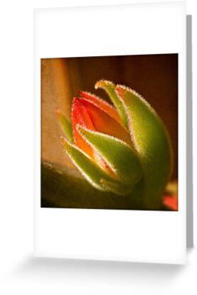 Echeveria bud in backlight by Celeste Mookherjee
