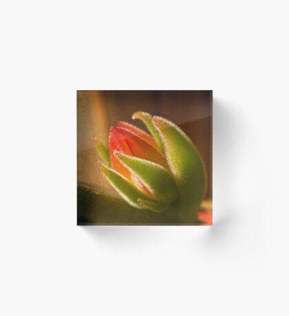 Echeveria Knospe im Gegenlicht Acrylblock