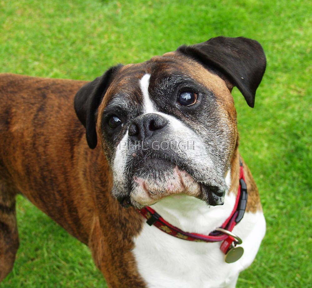 Billie The Boxer Dog by PHIL GOUGH