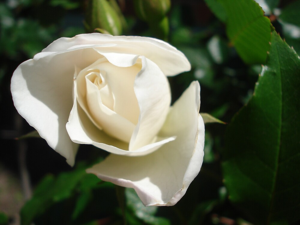white rose by kveta