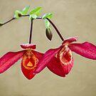 Orchid twins by Celeste Mookherjee