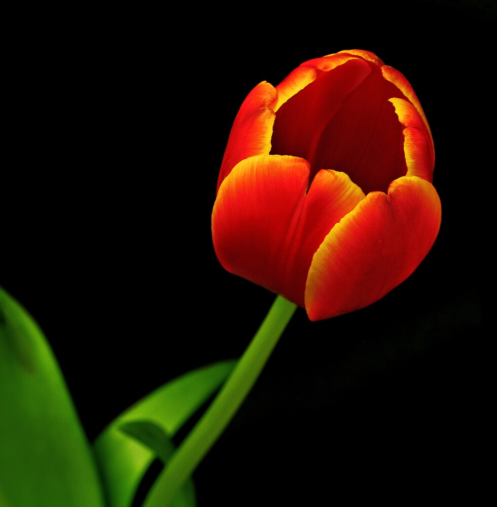 Single Orange Tulip by Swede