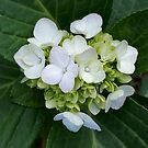 Hydrangea green & white by Victoria McGuire