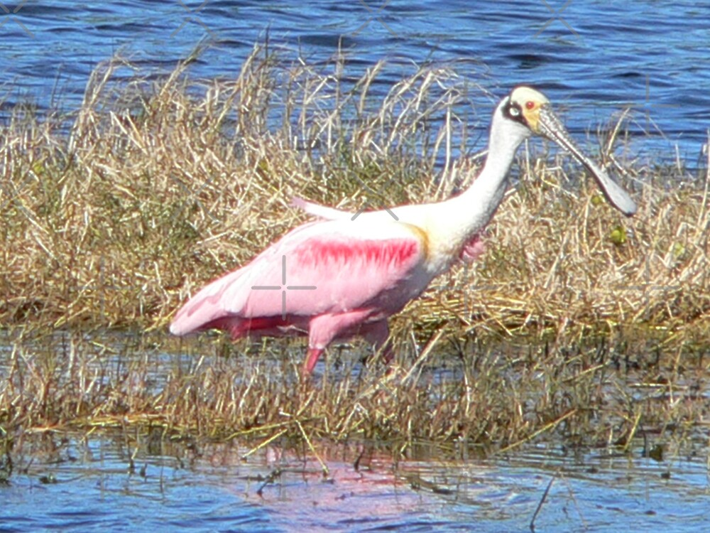 Roseate Spoonbill by kevint