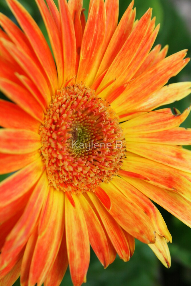 Fire Daisy by Kaylene B