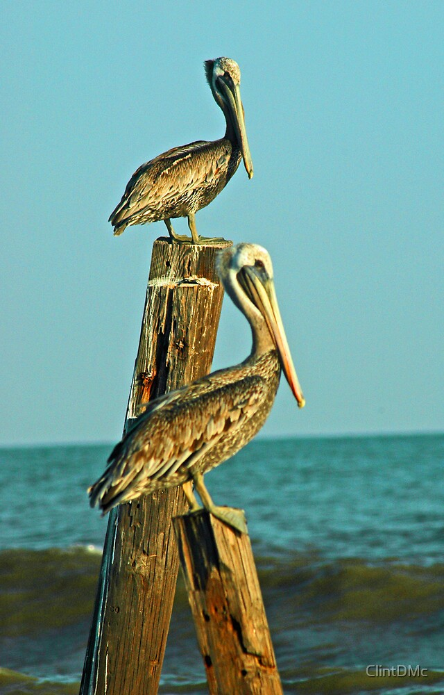 Brown Pelican by ClintDMc