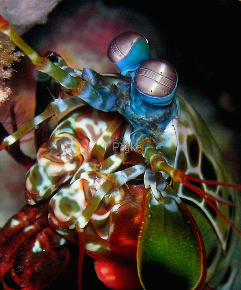 Peacock Mantis Shrimp by T Pryke