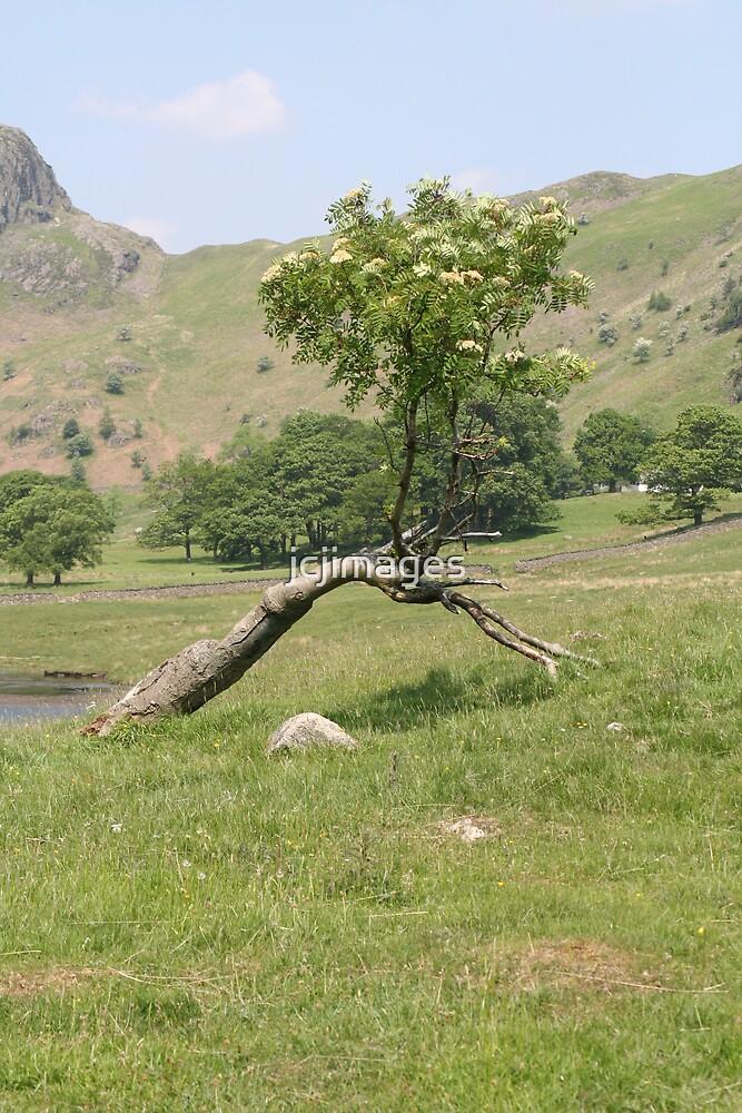 Bent Tree by jcjimages