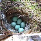 Redstart nest & eggs by jamluc