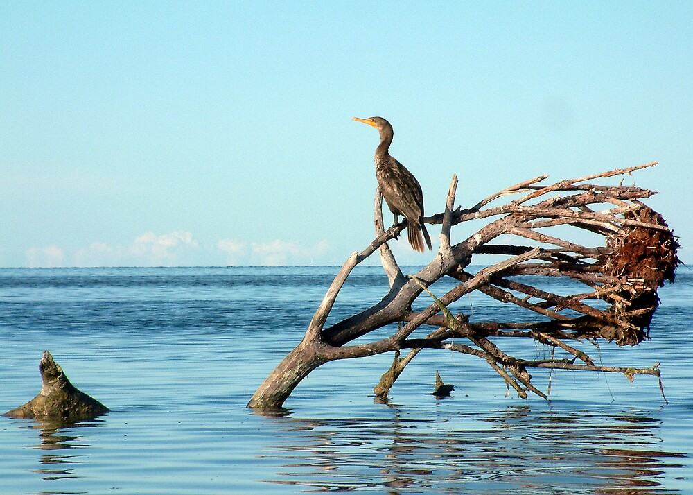 Cormorant On The Flats by Cayobo