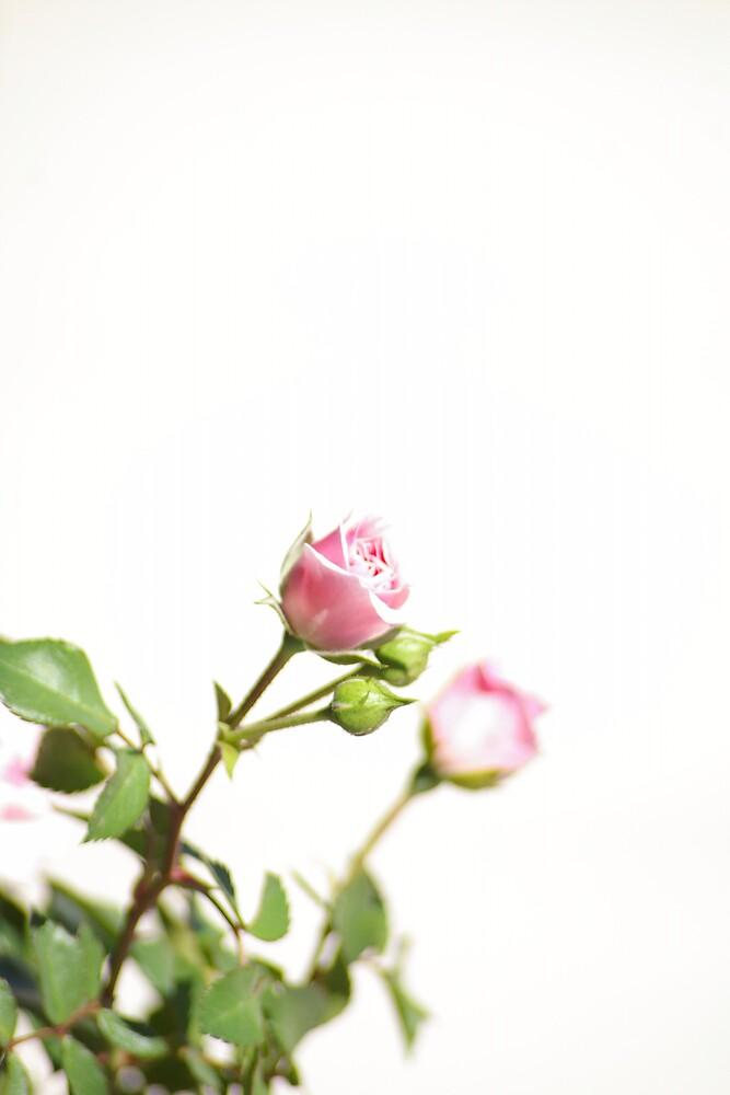 The rose by Deidre Cripwell