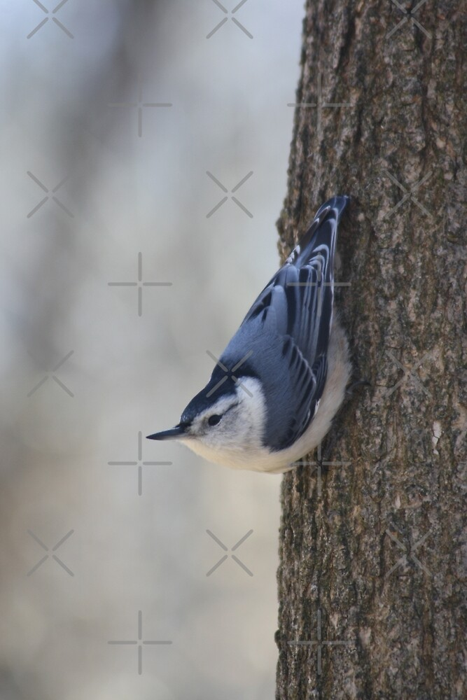 White-Breasted Nuthatch by Alyce Taylor