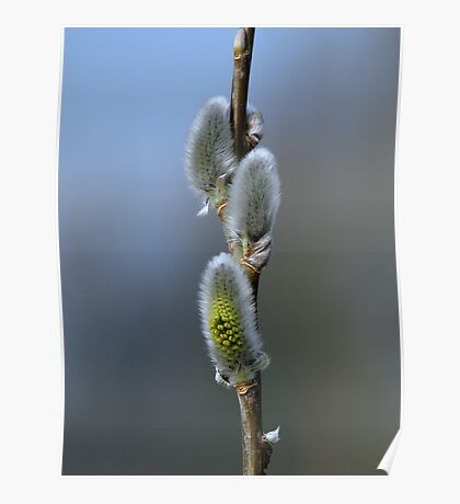 Pussy Willow 1 Poster