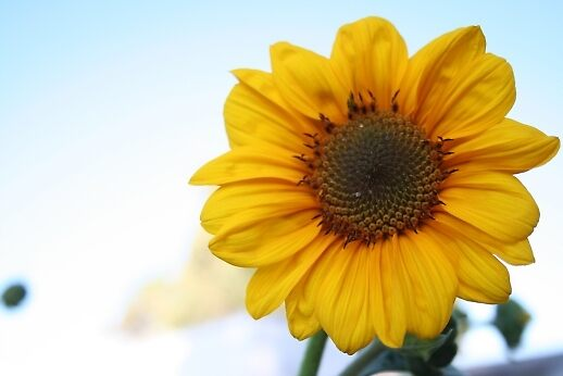 Sunflower by George .
