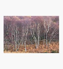 Birch Stand - end of the fall Photographic Print