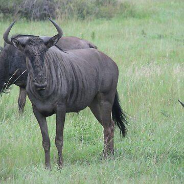 Wildebeest by shawnzahavi