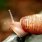 Snail by Henrik Lehnerer