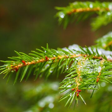 Spruce tree up close with ice by ArveBettum