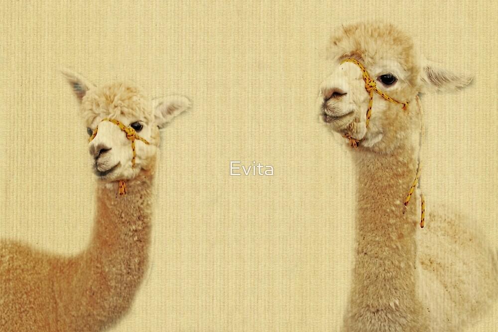 Portrait Of Two Alpacas by Evita