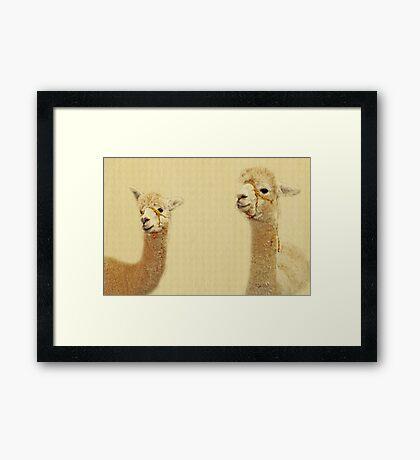 Porträt von zwei Alpakas Gerahmter Kunstdruck