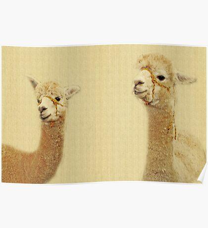 Porträt von zwei Alpakas Poster