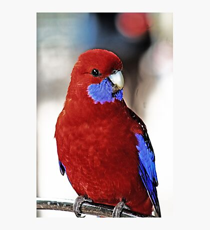 Crimsom Rosella Photographic Print