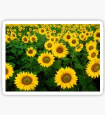 Sunflower backround Sticker