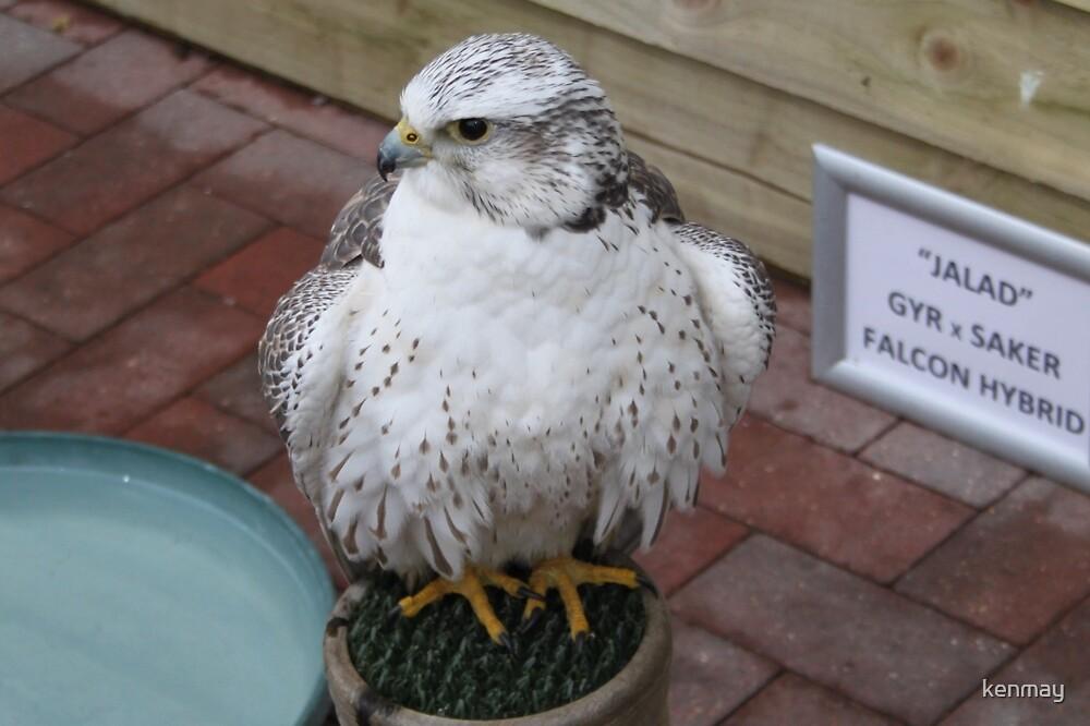 Falcon (Hybrid) by kenmay