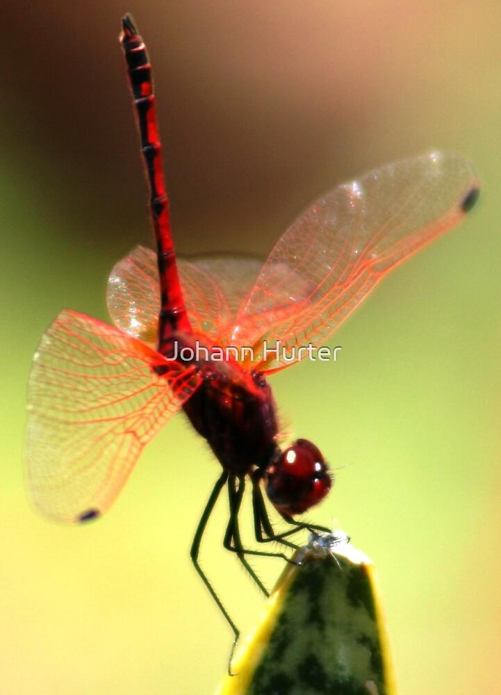 Dragonfly by Johann Hurter