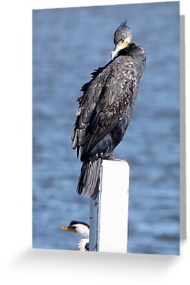 Great Cormorant ~ Armour-plate Feathers by Robert Elliott