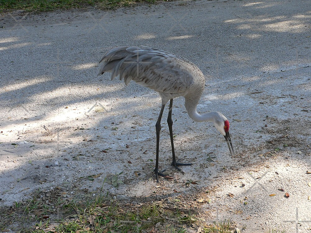 Sand Hill Crane by kevint
