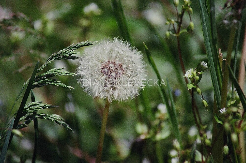Wish apon a breeze by DIANE KLEVECKA